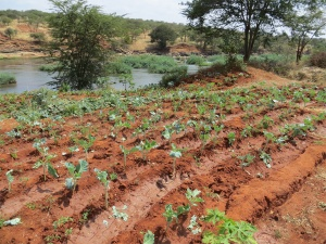 Taken in 2013, young kale, a staple food is planted in rows.